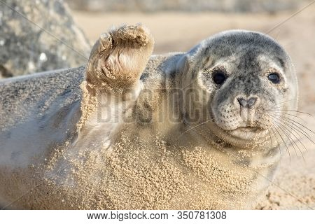 High Five. Cute Seal Waving. Funny Animal Meme Image. Saying Hi Or Bye This Beautiful Baby Seal Is F