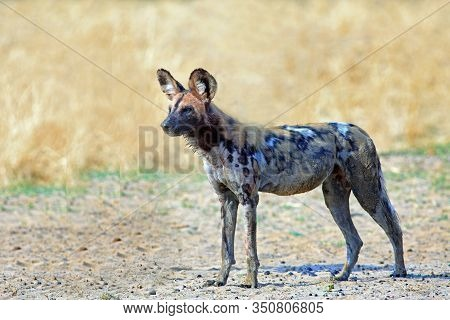 Isolated Wild Dog (painted Dog) Standing On The Parched Yellow African Plains.  The Background Is A