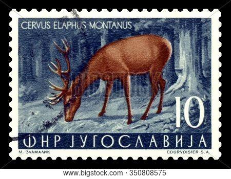 Stavropol, Russia - Februar 14. 2020: A Stamp Printed In Yugoslavia Shows  Cervus Elaphus Montanus,