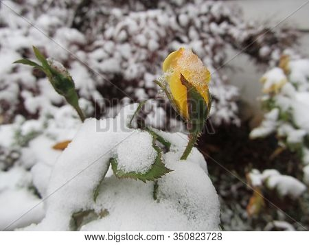 An Early Snowfall On A Yellow Knockout Rose Bush.