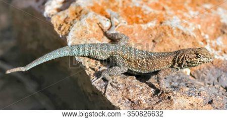 Western Side-blotched Lizard, Adult Male, Sun Bathing. Fossil Falls, Inyo County, California, Usa.