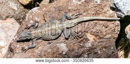 Common Chuckwalla (sauromalus Ater) Adult Male Sun Bathing. Fossil Falls, Inyo County, California, U