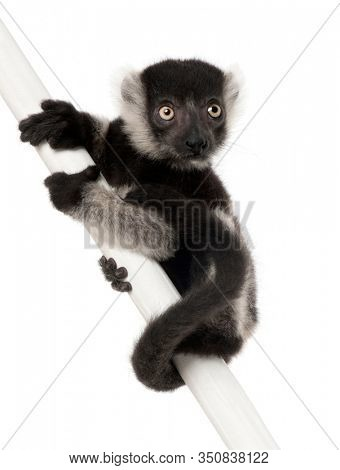Young Black-and-white ruffed lemur, Varecia variegata subcincta, 2 months old, perched on pole in front of white background