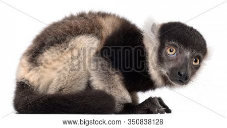 Young Black-and-white ruffed lemur, Varecia variegata subcincta, 2 months old, in front of white background