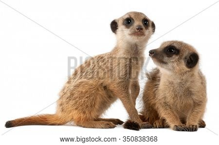 Meerkat or Suricate, Suricata suricatta, mother and her baby, in front of white background