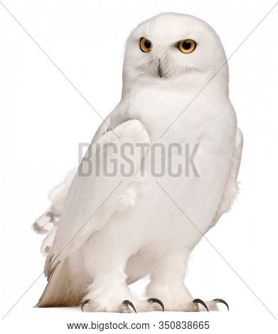 Male Snowy Owl, Bubo scandiacus, 8 years old, in front of white background