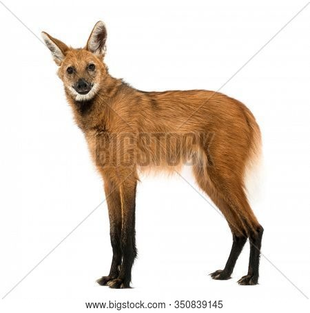 Side view of a Maned Wolf standing, looking at the camera, Chrysocyon brachyurus, isolated on  white