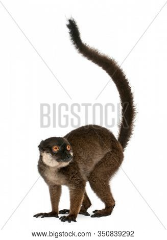 White-collared lemur, Eulemur albocollaris, 7years old, in front of white background