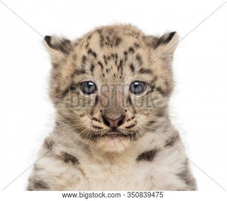 Snow Leopard cub, Panthera uncia, 1,5 month