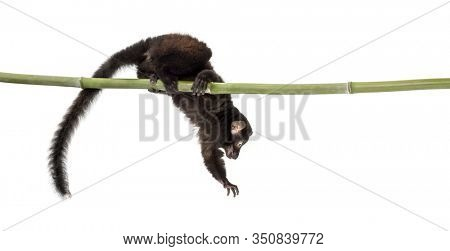 Young Blue-eyed black lemur playing on a bamboo stick, 3,5 months old, isolated on white
