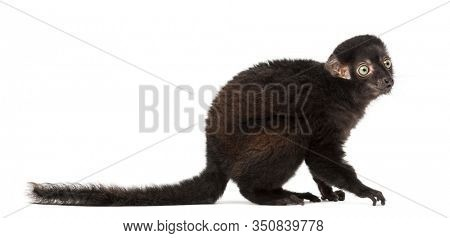 Side view of a Young Blue-eyed black lemur, 3,5 months old, isolated on white