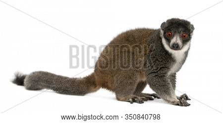Female mongoose lemur, Eulemur mongoz, 24 years old, sitting in front of white background