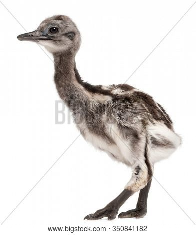 Darwin's Rhea, Rhea pennata, also known as the Lesser Rhea, 1 week old, in front of white background