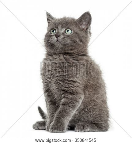 British kitten Shorthair sitting and looking up, 7 weeks old, isolated on white
