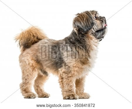 Side view of a cross-breed dog standing and looking up, isolated on white
