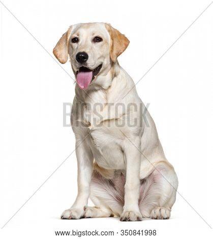 Panting Labrador retreiver, isolated on white