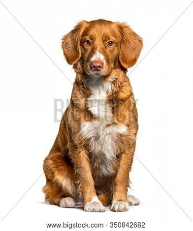 Sitting Nova Scotia Duck Tolling Retriever dog, isolated on white