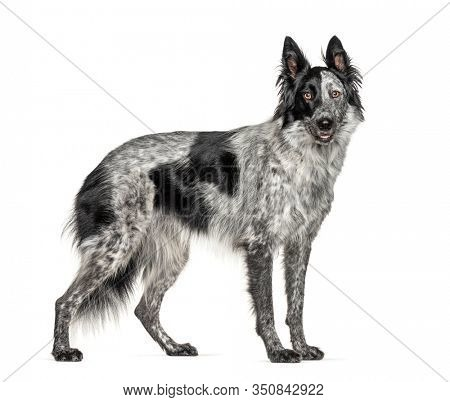 Black and white crossbreed dog, Border Collie and Malinois dog