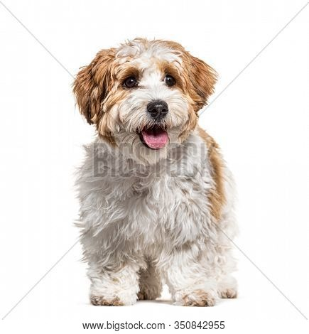 Panting Puppy Havanese dog, 5 months old, isolated on white