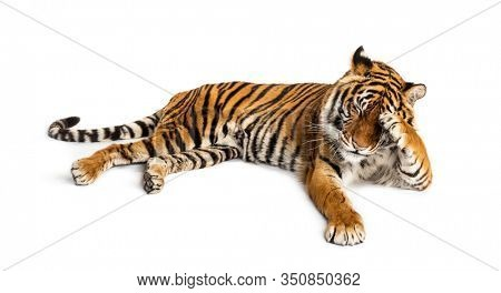 Shy tiger lying down, big cat,