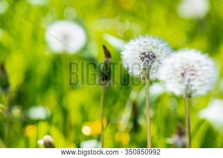 White Fluffy Dandelions In The Grass. Beautiful Nature Background