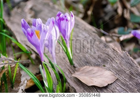 Crocus Flower In The Forest. Beauty Of Wild Purple Blooming In Springtime