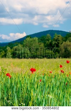 Red Poppy Blooming In The Field. Beautiful Countryside Scenery Of Mountainous Area. Wonderful Summer