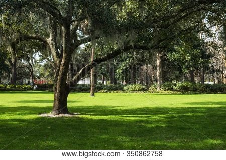 The Famous Live Southern Live Oaks Covered In Spanish Moss Growing In Savannahs Historic Squares. Sa