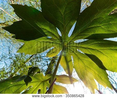 View From Underneath A Mayapple Plant On The Forest Floor In The Springtime