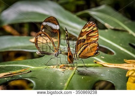 In Costa Rica It Is Common To See Groups Of Butterflies Of The Ithomiinae Family Gather On The Leave