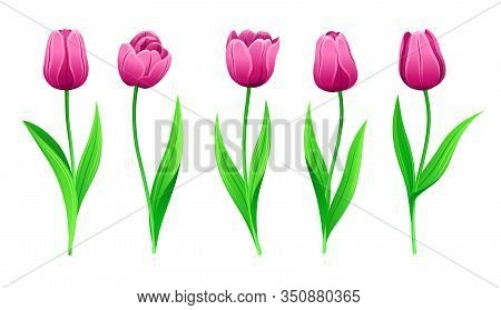 Collection Of Vector Pink Tulips With Stem And Green Leaves. Set Of Different Spring Rose Flowers. I