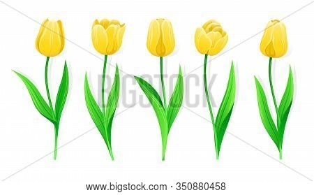 Collection Of Vector Yellow Tulips With Stem And Green Leaves. Set Of Different Spring Flowers. Isol