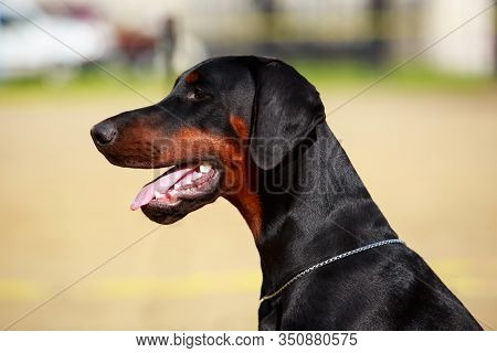 Portrait Of Doberman Pinscher Dog On A Background In Green Grass