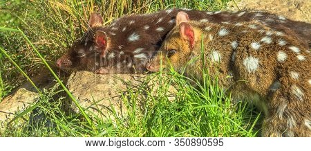 Panorama Banner Of Spotted Quole On Grass. Carnivorous Marsupials Native To Mainland Australia, New