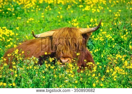 Sitting Highland Red Cow Originally From Scotland Highlands, Sitting In A Flowery Field In Spring In
