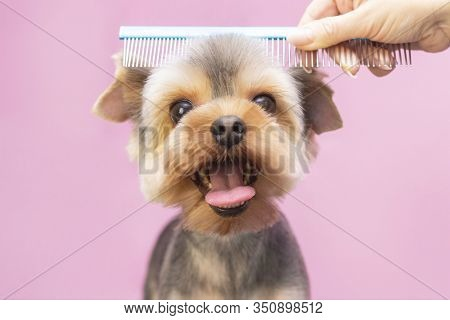 Dog Gets Hair Cut At Pet Spa Grooming Salon. Closeup Of Dog. The Dog Has A Haircut. Comb The Hair. P