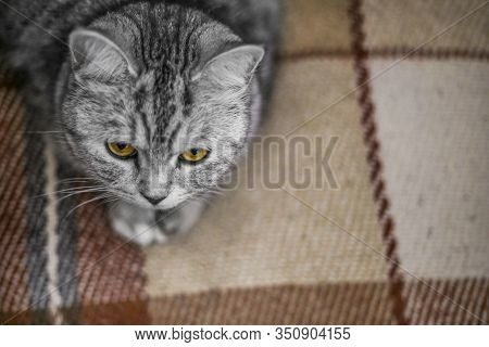 Fluffy Gray Beautiful Adult Cat, Breed Scottish, Close Portrait On Bedroom. Cats Relax