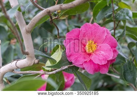 Red Camellia Flower. Camellia Flower, Closeup Of Red Camellia Flower In Full Bloom In The Garden. Th