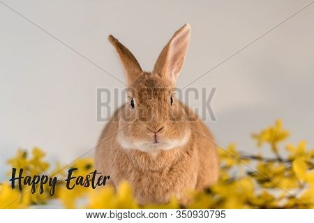 Rufus Bunny Rabbit Centered With Yellow Forsythia Flowers Happy Easter