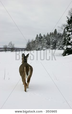 deer walking in a snow filled field in quebec, canada. poster