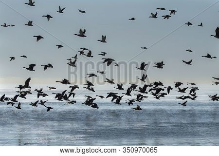 Geese. Flock Of Canadian Geese And Mallard Ducks Landing On Lake Michigan When Returning From The Fi