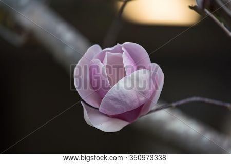 Purple Magnolia Flower. Saucer Magnolia Flower On A Branch Close Up