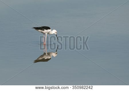 Reflection Of A Black-winged Stilt (himantopus Himantopus), Is Seen In The Still Waters Of A Lagoon,