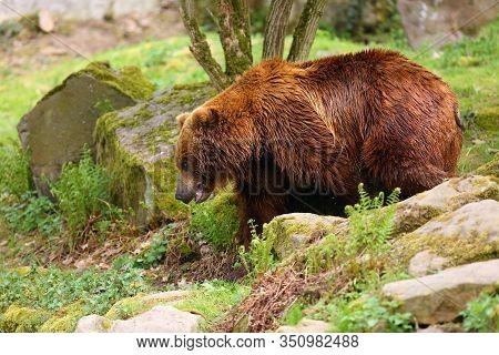 The Mainland Grizzly (ursus Arctos Horribilis) The Big Female Bear. Grizzly Walking Acros The Meadow