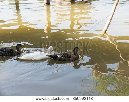 Duck Swimming On The River, Animals Concept