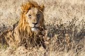 Male Lion in Etosha National Park, Namibia poster