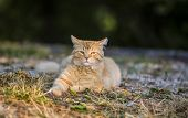 Orange tabby cat waking up outside in the morning poster