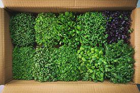 Fresh Organic Food - Microgreens In Cardboard Box. Top View