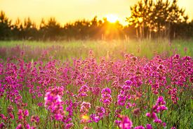 Beautiful Spring Landscape With Blooming Purple Flowers On Meadow And Sunrise. Blurred Scenery Backg
