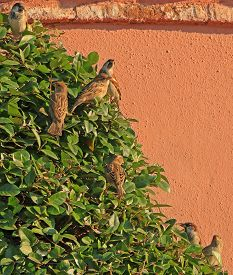 Seven Sparrows On Bush In The City, Istanbul, Turkey